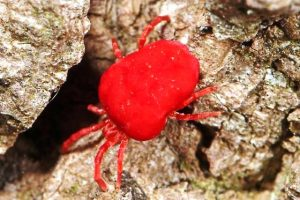 red velvet mites hindi, red velvet mites, red velvet video, red velvet mites, red velvet mite oil hindi