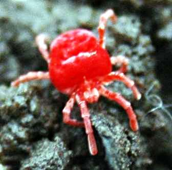 red velvet mites photo, red velvet mites pic, red velvet mites video